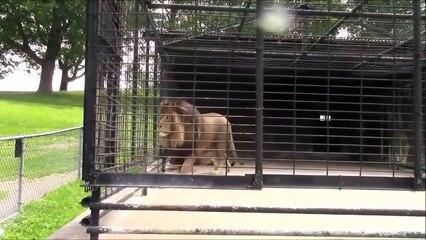 Ce lion ne supporte pas les touristes, et le fait savoir !