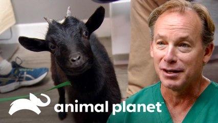 Elmer, la cabra mascota que se lastimó | Dr. Jeff, Veterinario | Animal Planet