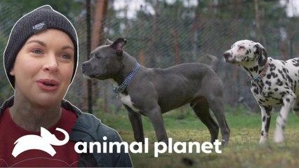 Cães com problemas de saúde aprendem a conviver juntos | Família ao Resgate | Animal Planet Brasil