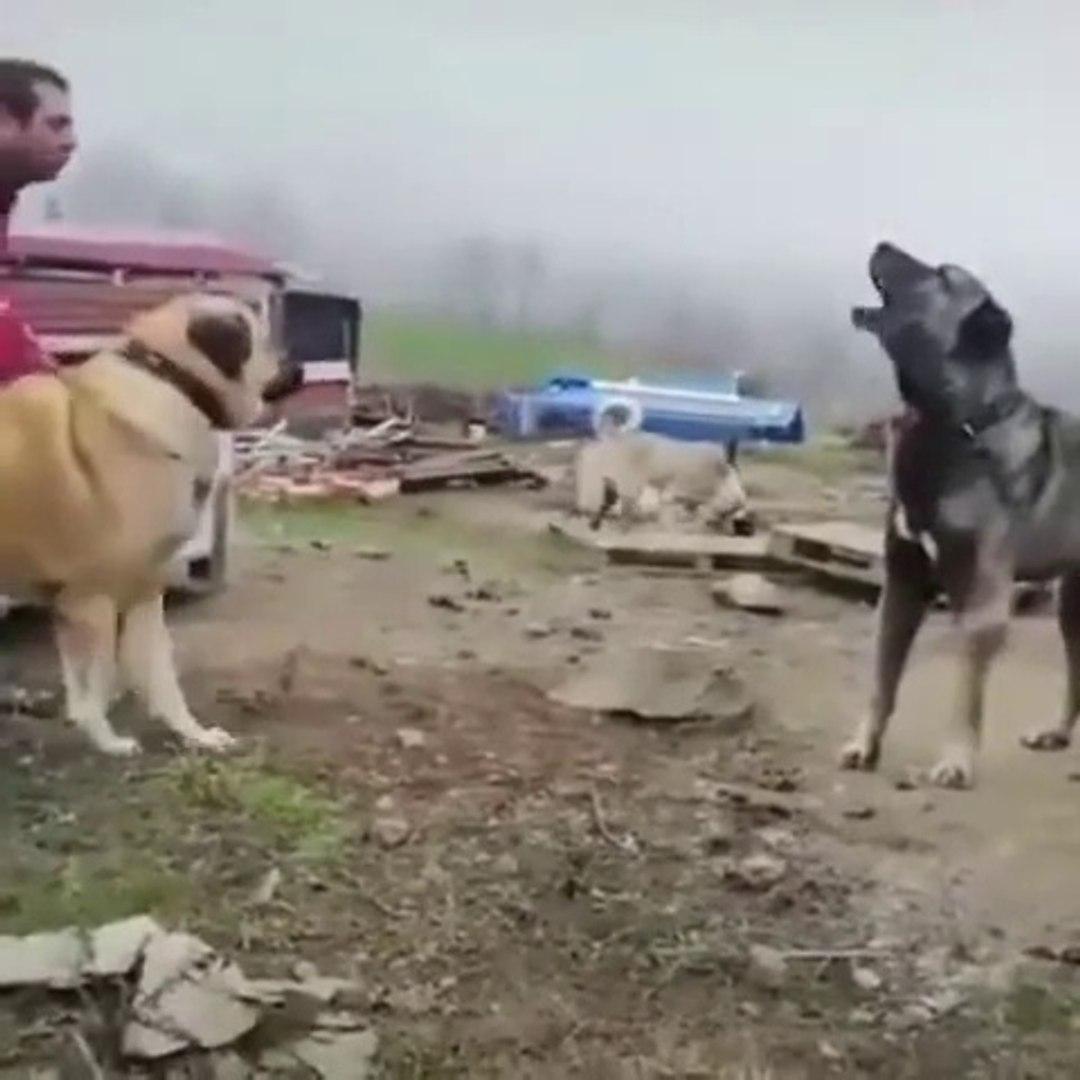 KANGAL KOPEKLERi KARSILASIR DA ATISMA YAPMAZ MI - KANGAL SHEPHERD DOGS VS