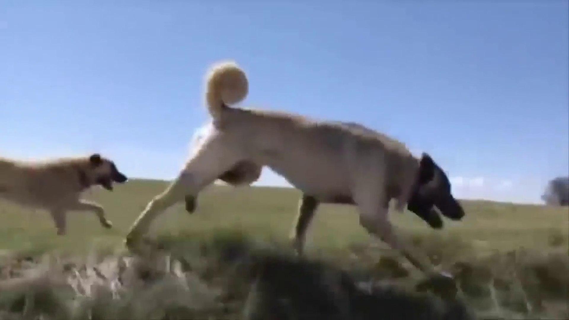 KANGAL KOPEKLERi BiRLiKTE KOSUYOR - KANGAL SHEPHERD DOG RUNNiNG