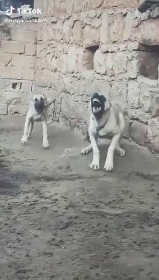 COK SERi ADAMCI GENCLER - ANGRY ANATOLiAN SHEPHERD DOGS