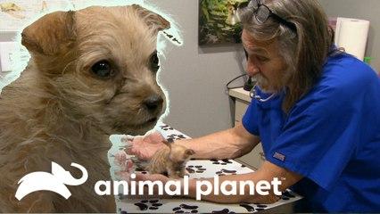Doutor Jeff receita um probiótico para cadelinha | Veterinário das Montanhas | Animal Planet Brasil