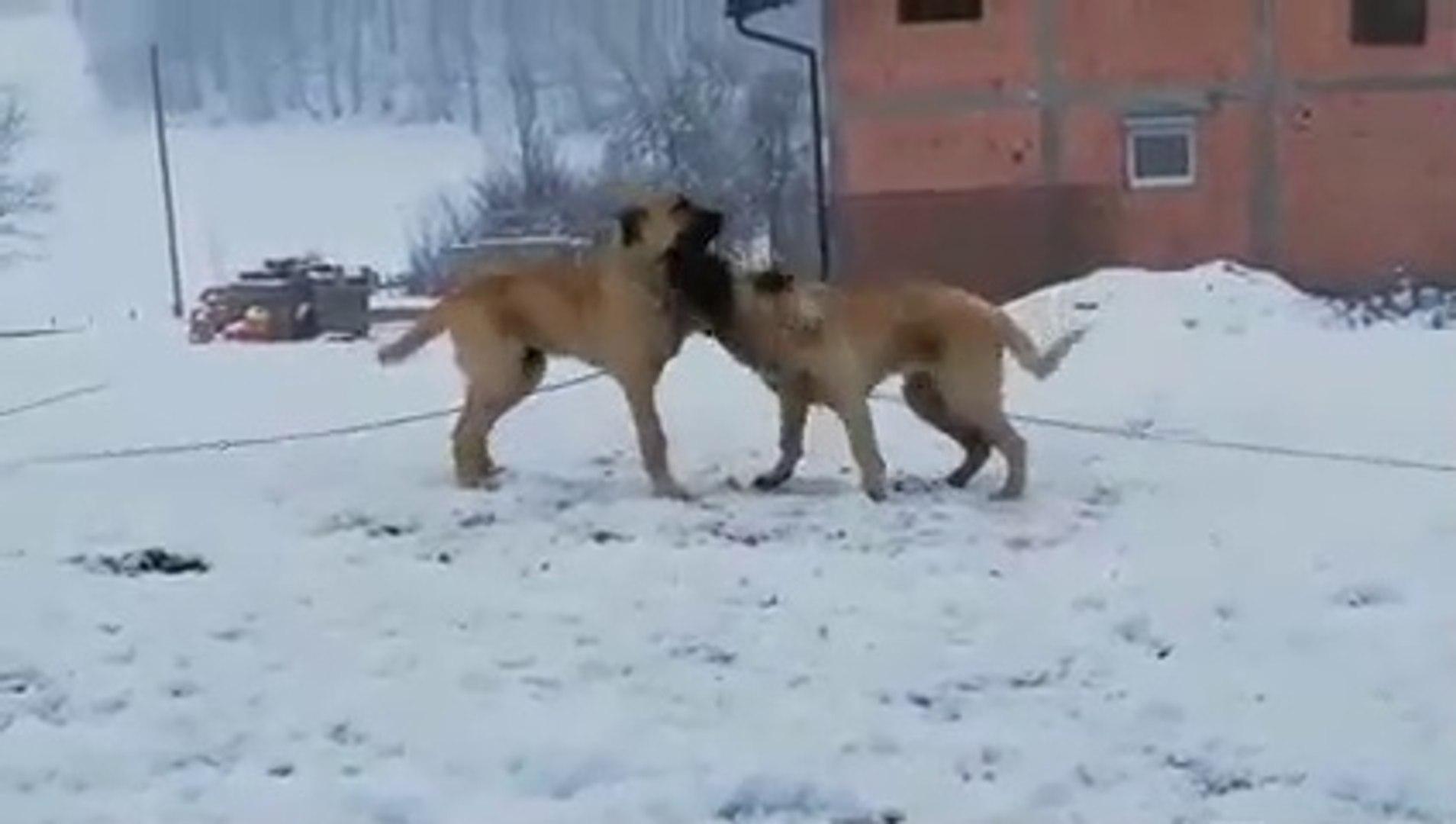 COBAN KOPEGi KARDESLERiN SEViMLi KARSILASMASI - SHEPHERD DOG BROTHERS VS