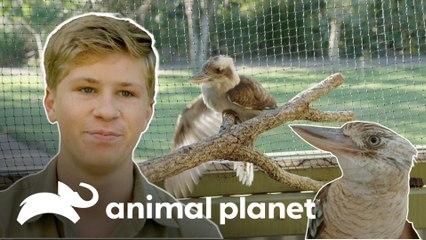 Ave australiana recebe cuidados na pata | A Família Irwin: Robert ao resgate | Animal Planet Brasil