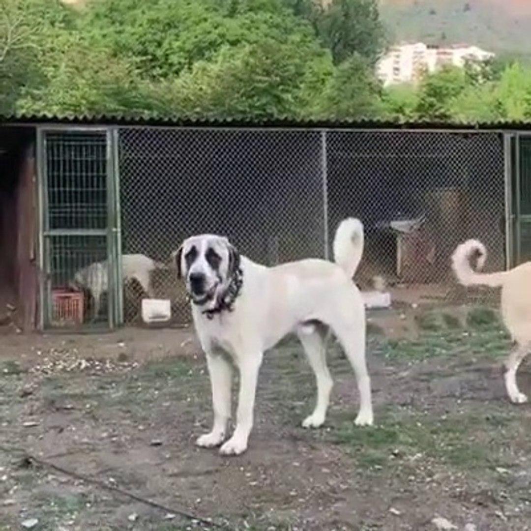 FULL SiMiT KUYRUK ALA COBAN KOPEGi - ALA SHEPHERD DOG