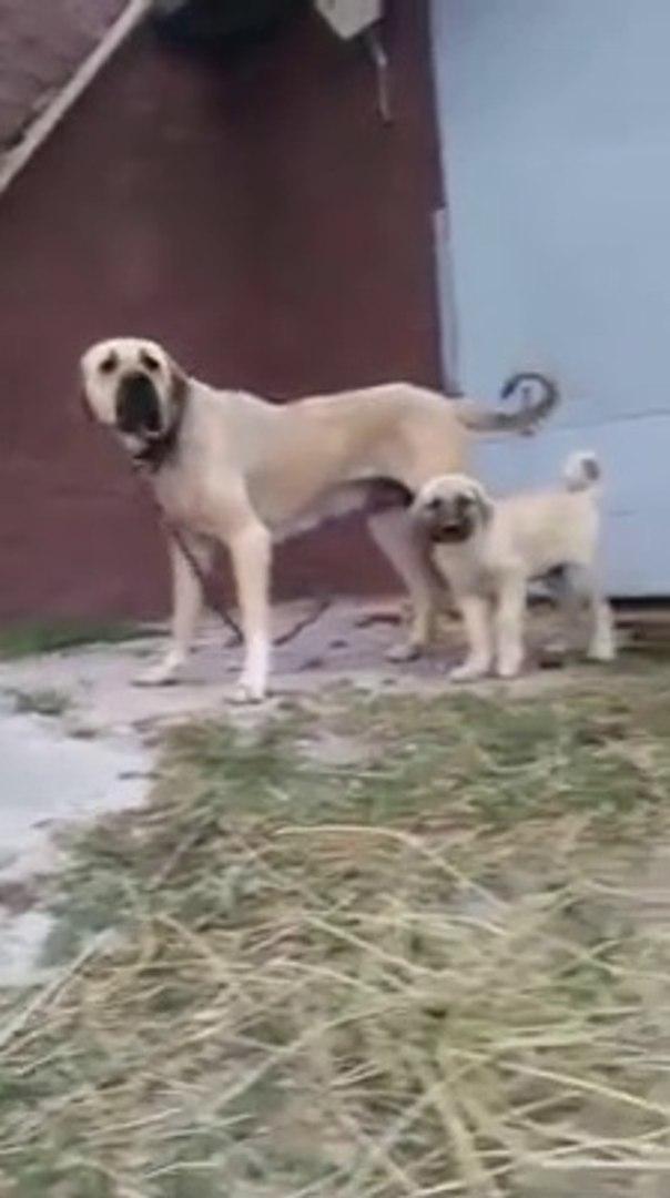 MALAKLI YAVRULARI ve ANNESi - MALAKLI DOG PUPPiES and MOM