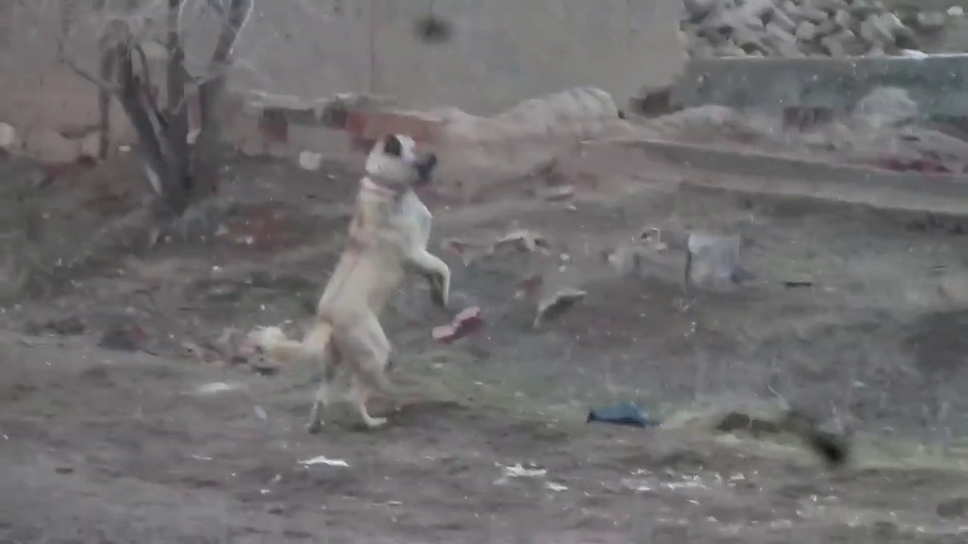 DEV ADAMCI KOPEGiNDEN ADAMCI HAREKETLER - ANGRY GiANT SHEPHERD DOG in GARDEN