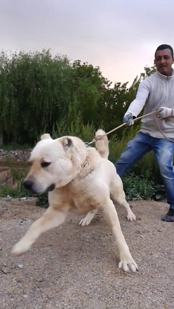 BEYAZ ASLAN ile GEZiNTi - GiANT ANATOLiAN SHEPHERD DOG and WALK