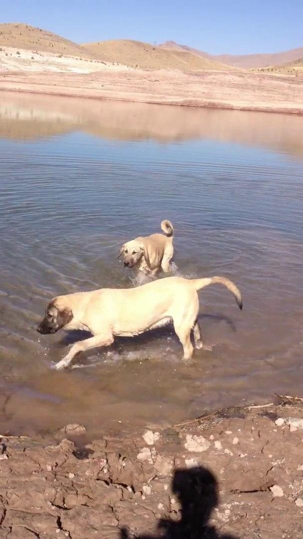 COBAN KOPEKLERiYLE SU KENARINDA GEZiNTi - SHEPHERD DOGS with WALK