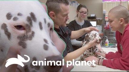 Cirurgia para remover excesso de pálpebra de um dálmata | Família ao Resgate | Animal Planet Brasil