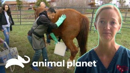 Tratamento para artrite na pata de um cavalo | Veterinário das Montanhas | Animal Planet Brasil
