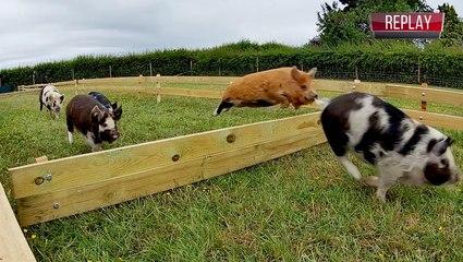 Let The Pig Races Begin!