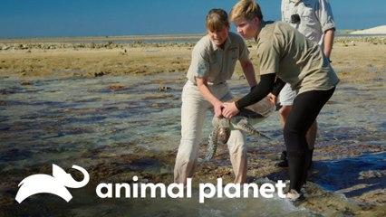 Reabilitação de três tartarugas | A Família Irwin: Robert ao resgate | Animal Planet Brasil