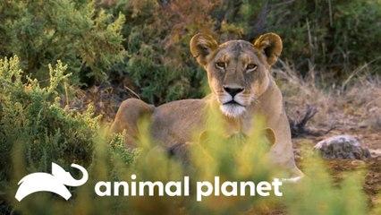 Grandes caçadores da natureza na África: o leão | Lei da sobrevivência | Animal Planet Brasil