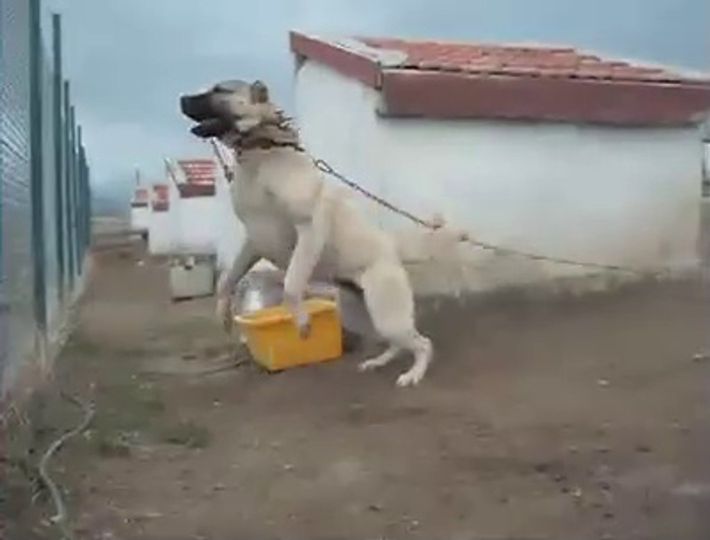 ADAMCI KANGAL KOPEK CiFTLiGiNDE - ANGRY KANGAL on the DOG FARM
