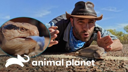 Exótico lagarto-de-língua-azul | Encontro Selvagem com Coyote Peterson | Animal Planet Brasil