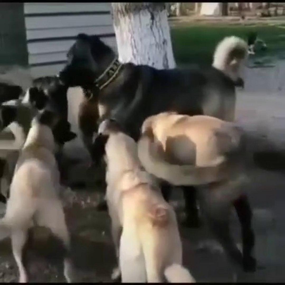 KARALAR KANGALLAR PANTERLER - KANGAL PANTHER SHEPHERD DOG