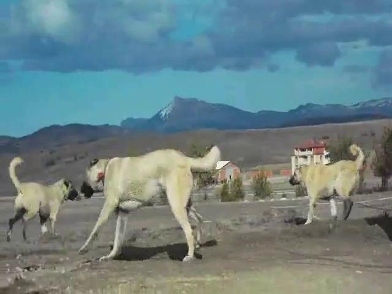 DEV ADAMCI KANGAL KOPEKLERi HAZIR KITA - GiANT KANGAL SHEPHERD DOGS