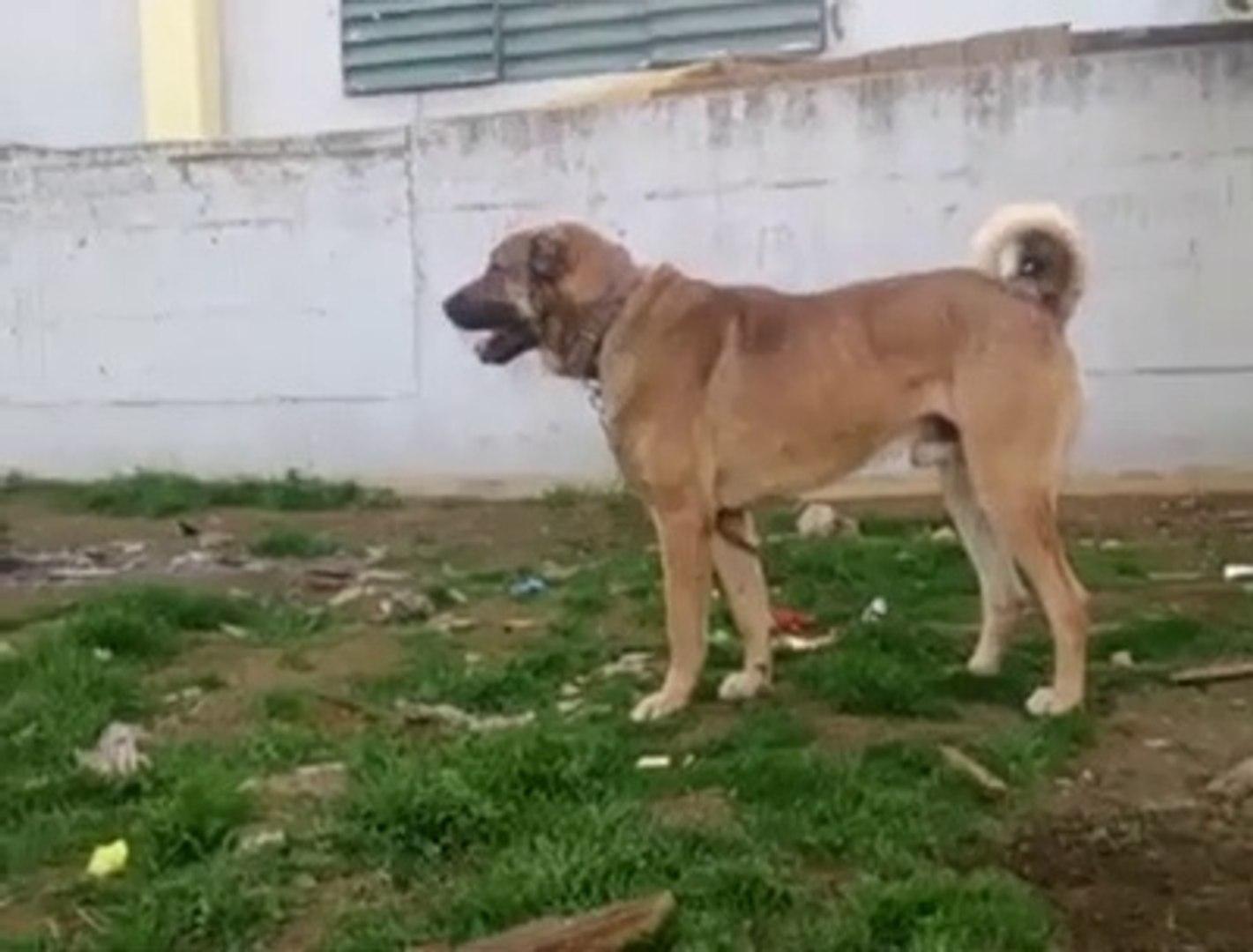FULL SiMiT KUYRUK ANADOLU COBAN KOPEGi - ANATOLiAN SHEPHERD DOG