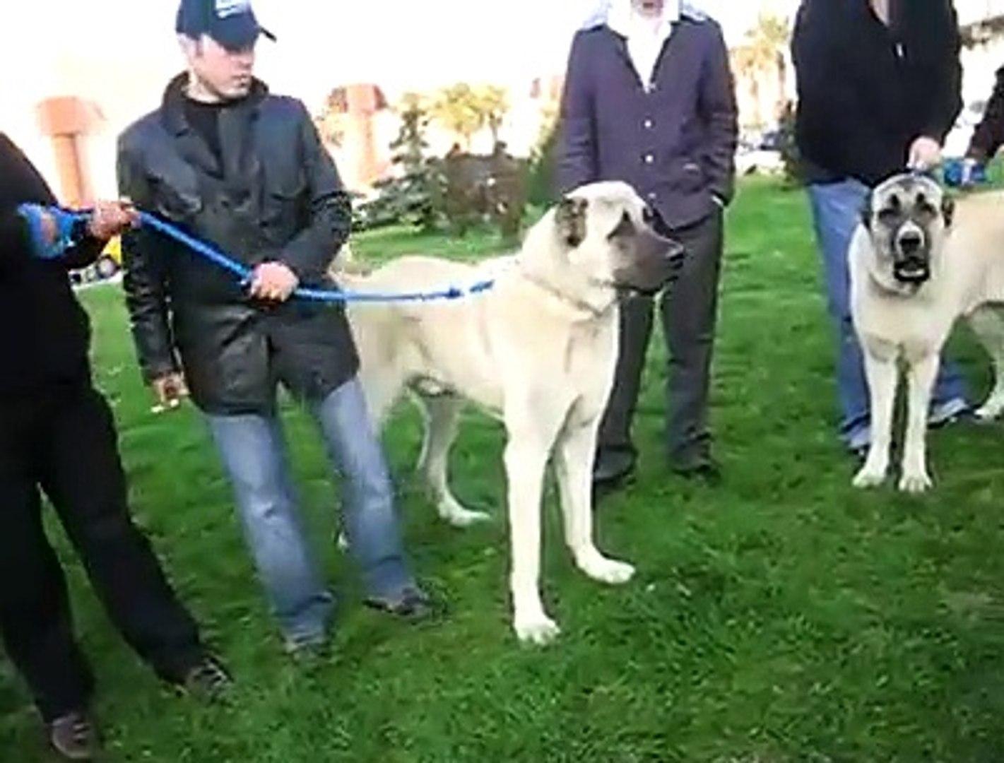 USTAD SERBULENT OZGiRAY CEKiMi MALAKLI KOPEGi - MALAKLI SHEPHERD DOG