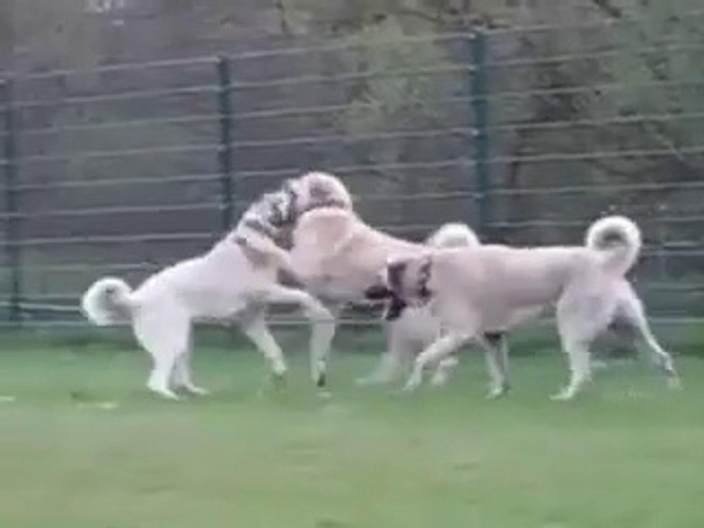 KANGAL ve COBAN KOPEKLERiNiN SEViMLiLiKLERi - CUT KANGAL and SHEPHERD DOGS