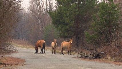 Le cheval Przewalski,  une espèce menacée qui prospère à Tchernobyl