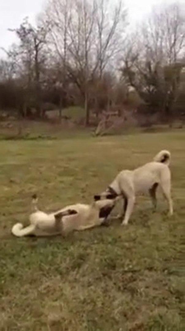GENC KANGAL KOPEKLERi AKSAM SPORUNDA - YOUNG KANGAL SHEPHERD DOG