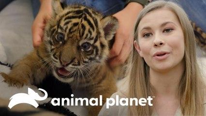 Feliz nascimento de um tigre-de-sumatra! | A Família Irwin: Robert ao resgate | Animal Planet Brasil