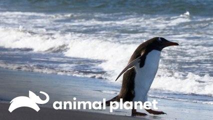 Caça praticada por espécies marinhas | Lei da sobrevivência | Animal Planet Brasil