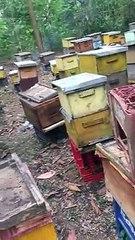 Apicultores de San Pedro de Macorís denuncian ola de robo de miel