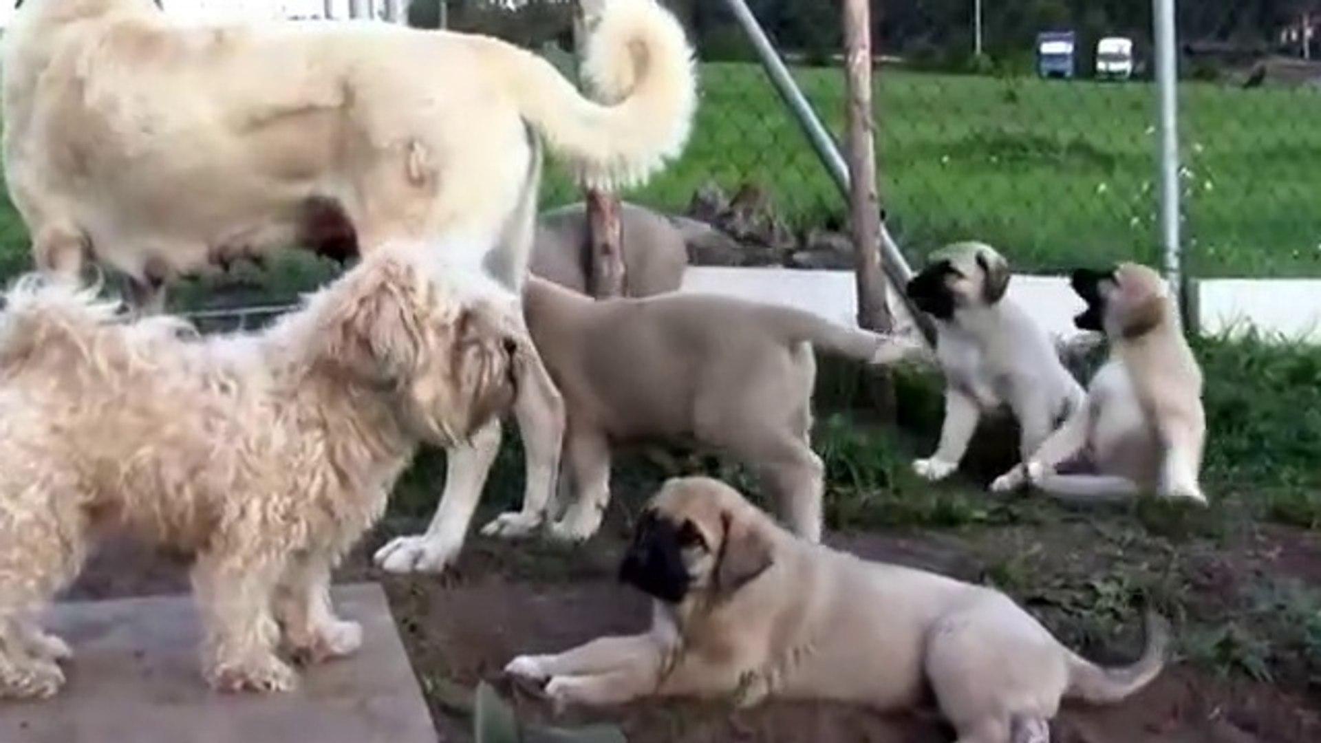 SEViMLi COBAN KOPEGi AiLESi - CUTE ANATOLiAN SHEPHERD DOG FAMiLY