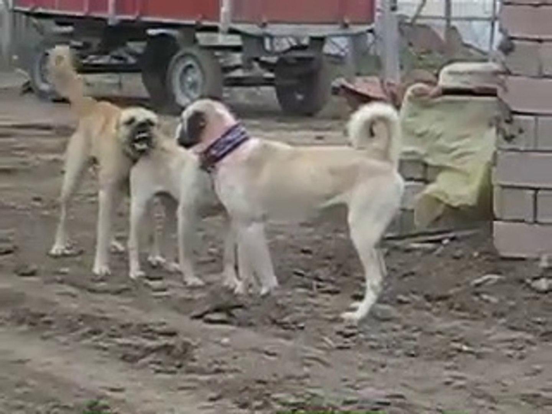 ALA COBAN KOPEKLERiYLE KANGAL KOPEKLERi ATISMA - KANGAL SHEPHERD DOG VS ALA SHEPHERD DOGS