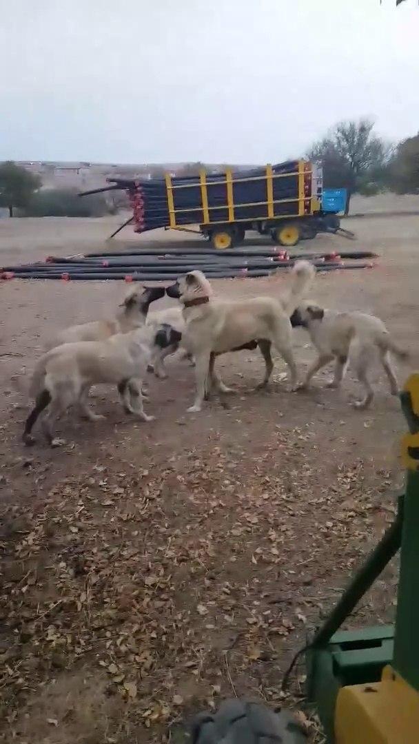 KANGALLAR COBAN KOPEKLERi BiRARADAKi SEViMLiLiKLERi - CUTE KANGAL and SHEPHERD DOGS