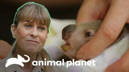 Recuperação de um bebê coala debilitado | A Família Irwin: Robert ao resgate | Animal Planet Brasil