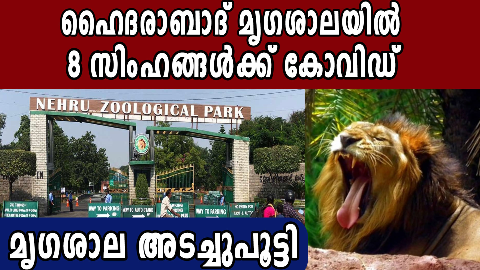 8 Lions Show COVID-19 Symptoms At Nehru Zoological Park   Oneindia Malayalam