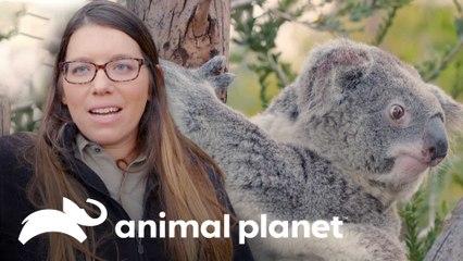 Rotina de um coala com personalidade forte no zoo | O Zoológico de San Diego | Animal Planet Brasil