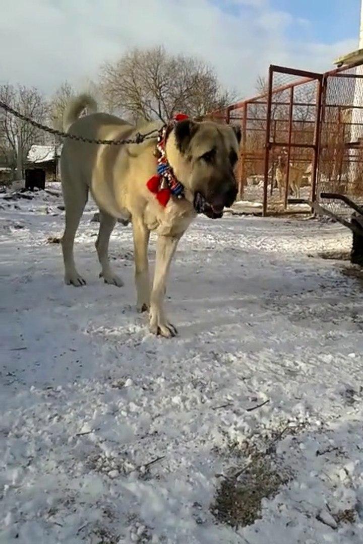 AFERiM TONiYE COK AKILLI ADAMCI COBAN KOPEGi - SHEPHERD DOG TONY