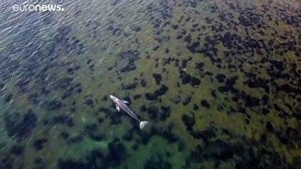 فيديو | للمرة الأولى.. رصد حوت رمادي قبالة الشواطئ الفرنسية