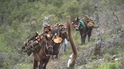 Un leñador recurre a las mulas para transportar leña en el centro de Italia