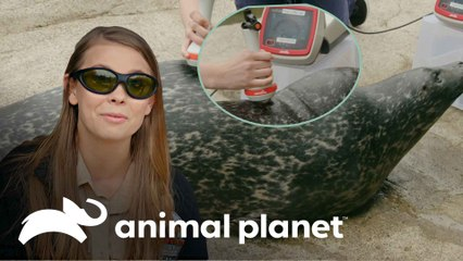 Terapia inovadora com laser para focas | A Família Irwin: Robert ao resgate | Animal Planet Brasil