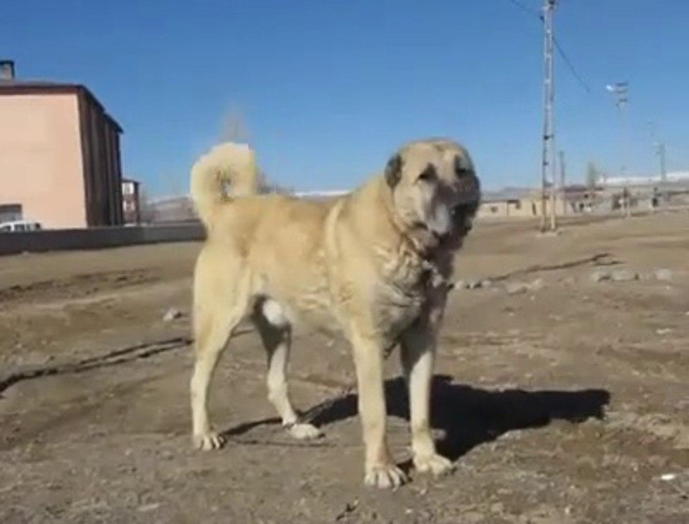 SERBULENT USTADIN KESFETTiGi KANGAL KOPEGi - QUALiTY KANGAL SHEPHERD DOG