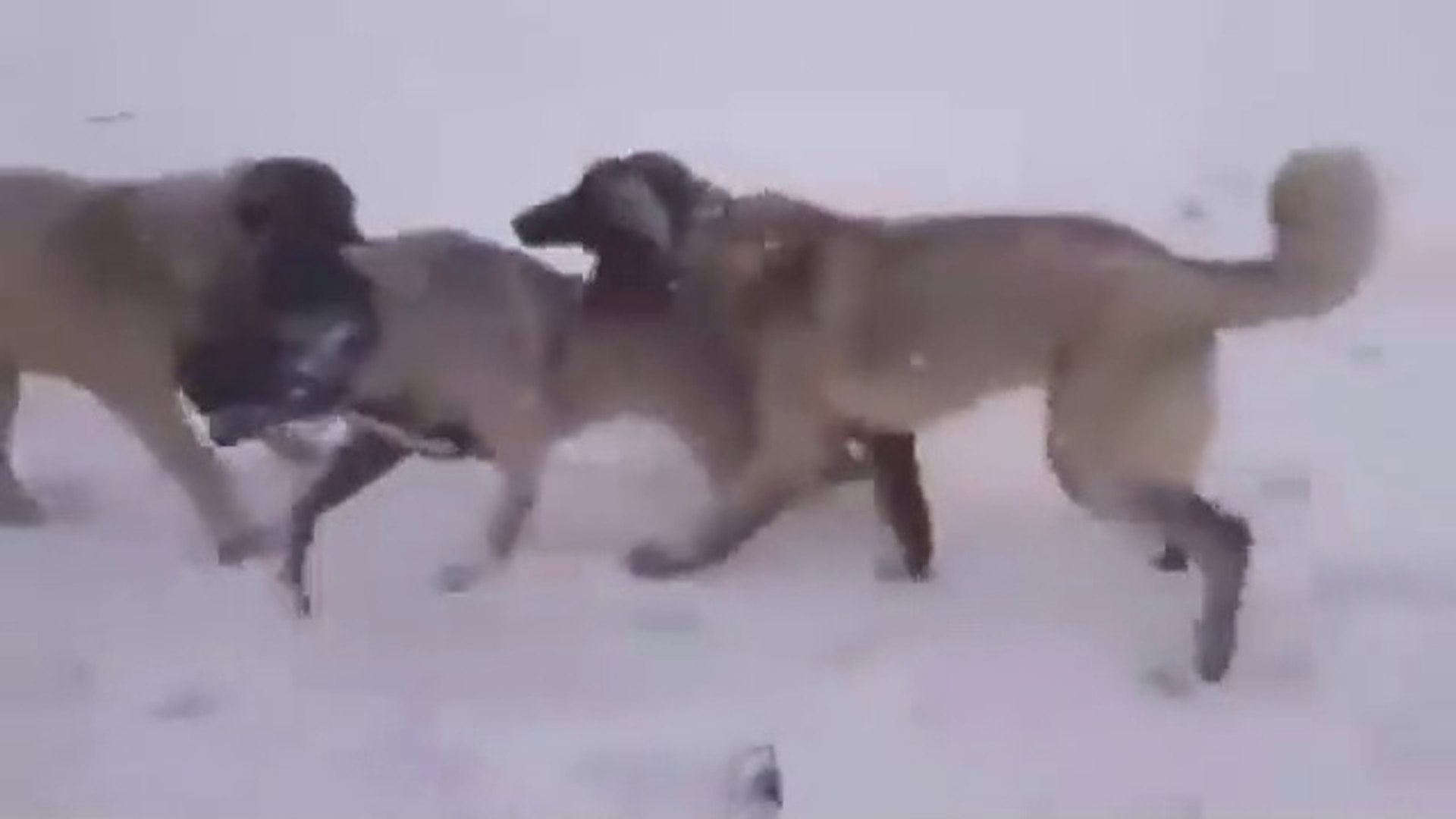 3 KANGAL KARDES VS - 3 BROTHER KANGAL DOGS VS
