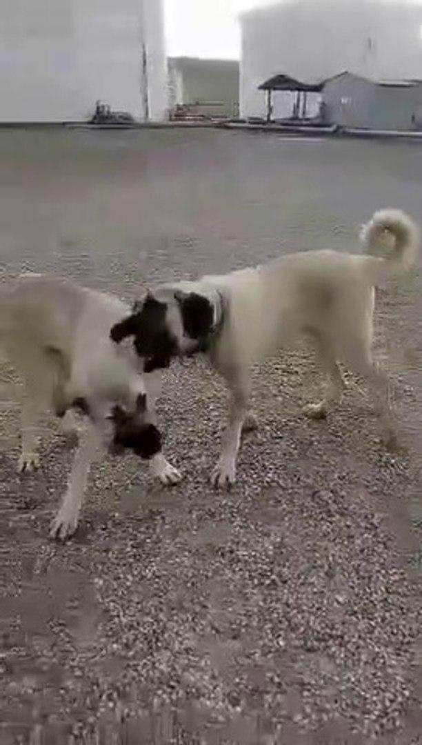 GENC COBAN KOPEKLERi KAMERA KARSINDA OYUN - YOUNG SHEPHERD DOGS
