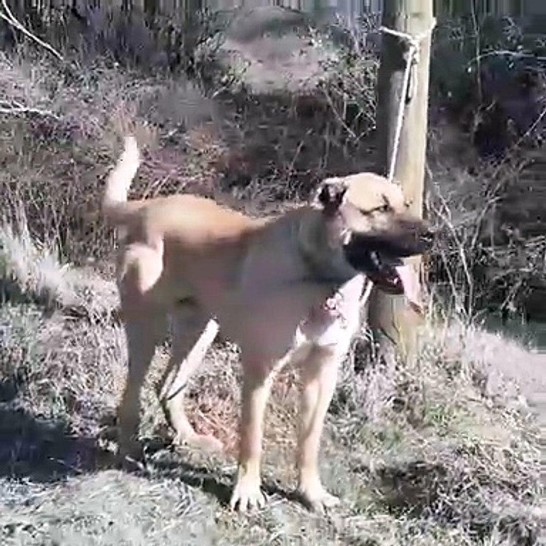 COBAN KOPEKLERiNE D ViTAMiNi TAKViYESi - ANATOLiAN SHEPHERD DOGS