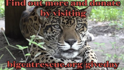 Give Day For BIG Cats