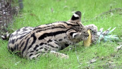 Do Servals Like Pineapple?