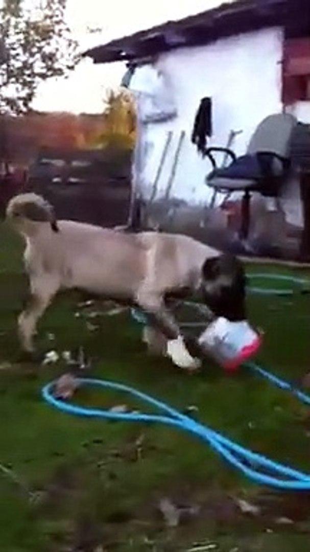 GENC COBAN KOPEGiNiN SEViMLi OYUN HALLERi - YOUNG SHEPHERD DOG
