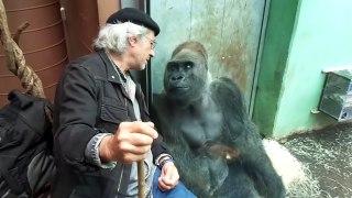 Ce gorille et ce visiteur du zoo s'aiment bien