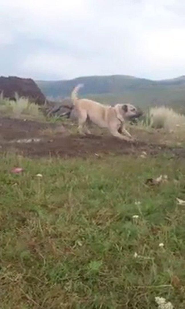 COBAN KOPEKLERi DAGDA - ANATOLiAN SHEPHERD DOGS on the MOUNTAiN
